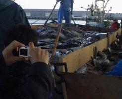 水揚げされる鮭